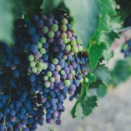 Grapes hanging down off the vine